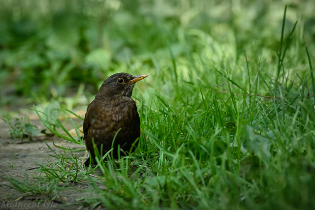 Blackbird in the Grass