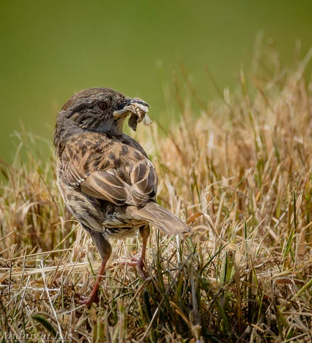Dunnock with lunch