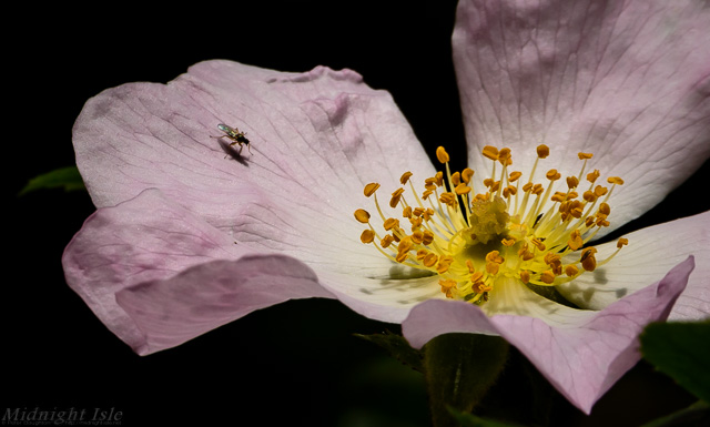 Fly on a Dog Rose