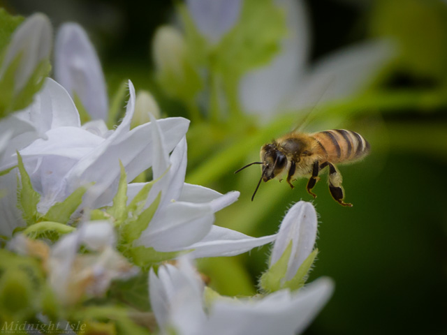 Foraging Honey Bee