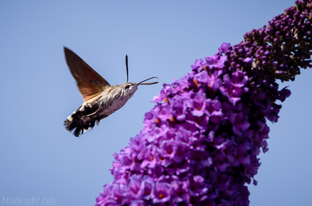 Hummingbird Hawk Moth From Below