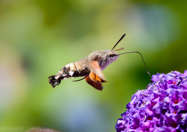 Hummingbird Hawk Moth From Side
