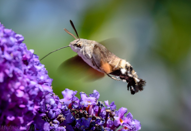 Hummingbird Hawk Moth Hovering