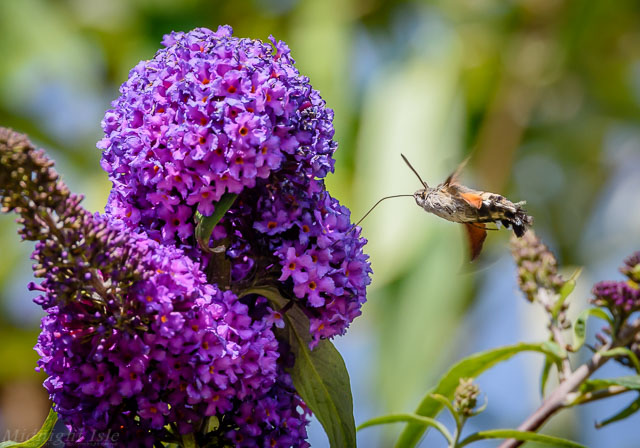 Hummingbird Hawk Moth and Buddleia