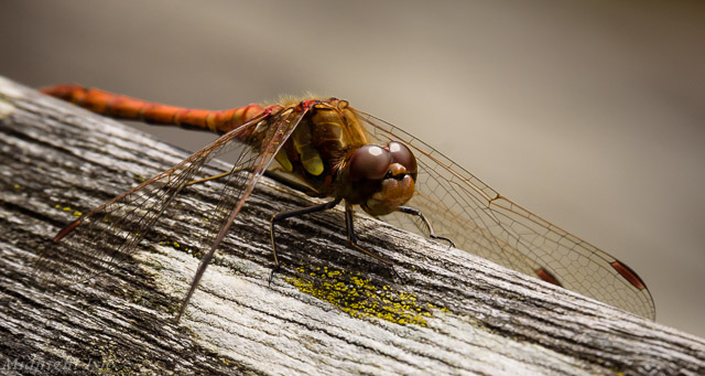 Portrait of a Darter