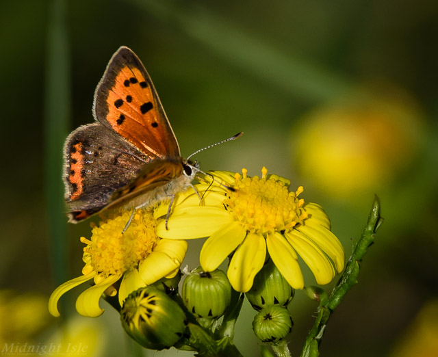 Small Copper on Oxford Ragwort