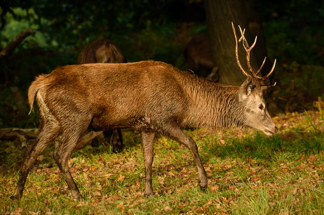 Wet Red Deer