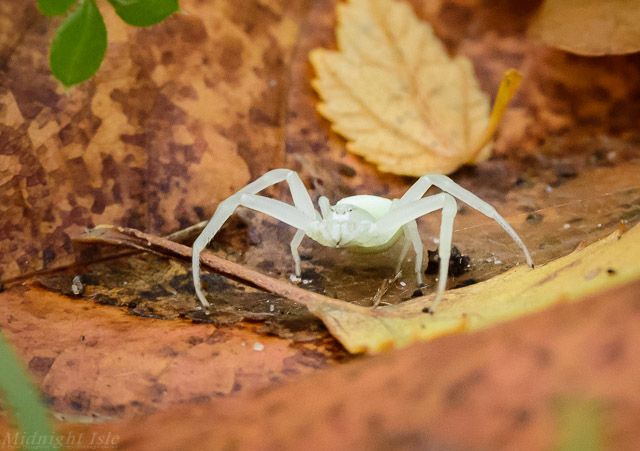 White Spider Portrait